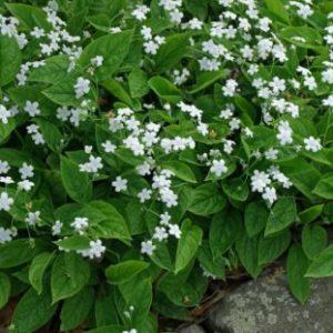 Vrtnarstvo Breskvar - Omphalodes verna Alba