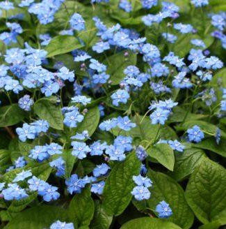 Vrtnarstvo Breskvar - Omphalodes verna