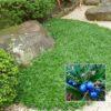 Vrtnarstvo Breskvar - Ophiopogon japonicus Minor