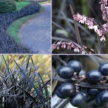 Vrtnarstvo Breskvar - Ophiopogon planiscapus Niger Black Dragon