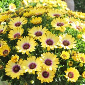 Vrtnarstvo Breskvar - Osteospermum Blue Eyed Beauty