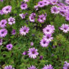 Vrtnarstvo Breskvar - Osteospermum ecklonis