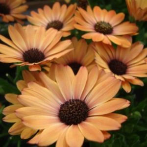 Vrtnarstvo Breskvar - Osteospermum Orange Sunrise