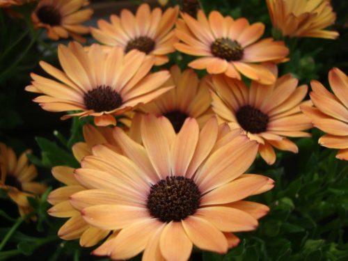 Vrtnarstvo Breskvar - Osteospermum Orange Sunrise