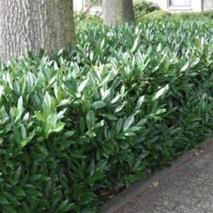 Prunus laurocerasus 'Otto Luyken' - Vrtnarstvo Breskvar