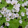 Vrtnarstvo Breskvar - Oxalis acetosella