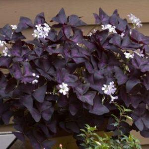 Vrtnarstvo Breskvar - Oxalis triangularis Burgundy Wine