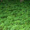 Vrtnarstvo Breskvar - Pachysandra terminalis