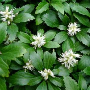 Vrtnarstvo Breskvar - Pachysandra terminalis Green Carpet