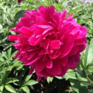 Vrtnarstvo Breskvar - Paeonia lactiflora Karl Rosenfield