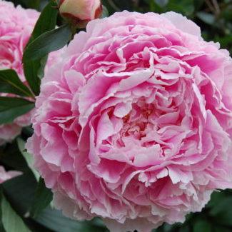 Vrtnarstvo Breskvar - Paeonia lactiflora Sarah Bernhardt