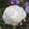Vrtnarstvo Breskvar - Paeonia Lactiflora Shirley Temple