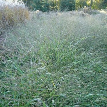 Vrtnarstvo Breskvar - Panicum virgatum Prairie Sky