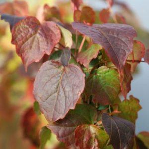 Vrtnarstvo Breskvar - Parthenocissus tricuspidata Minutifolia
