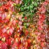 Vrtnarstvo Breskvar - Parthenocissus quinquefolia Engelmanni