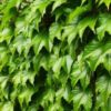 Vrtnarstvo Breskvar - Parthenocissus tricuspidata Green Spring