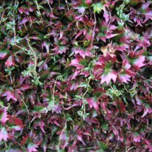Vrtnarstvo Breskvar - Parthenocissus tricuspidata Lowii