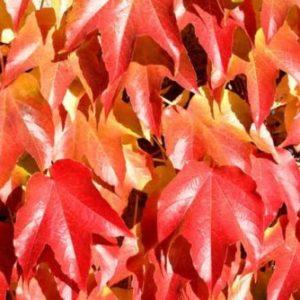 Vrtnarstvo Breskvar - Parthenocissus tricuspidata Veitchii