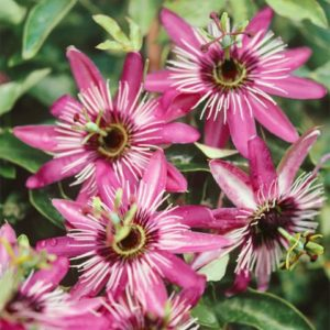 Vrtnarstvo Breskvar - Passiflora Caerulea Rubra