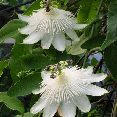 Vrtnarstvo Breskvar - Passiflora Riverside Snow Queen