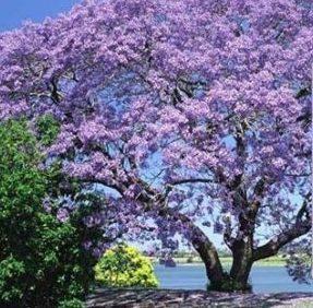 Vrtnarstvo Breskvar - Paulownia Fortunei Fast Blue