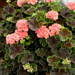 Vrtnarstvo Breskvar - Pelargonium brocade Salmon Night