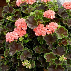 Vrtnarstvo Breskvar - Pelargonium brocade Salmon Night