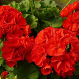 Vrtnarstvo Breskvar - Pelargonium Calliope Dark Red