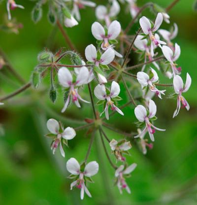 Vrtnarstvo Breskvar - Pelargonium tomentosum