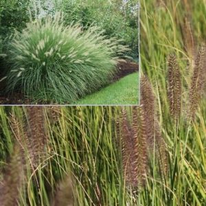 Vrtnarstvo Breskvar - Pennisetum alopecuroides Compressum
