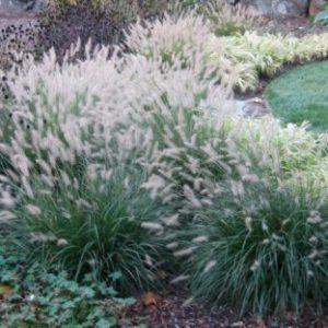 Vrtnarstvo Breskvar - Pennisetum alopecuroides Hameln