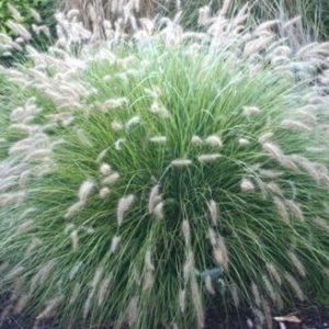 Vrtnarstvo Breskvar - Pennisetum alopecuroides Little Bunny