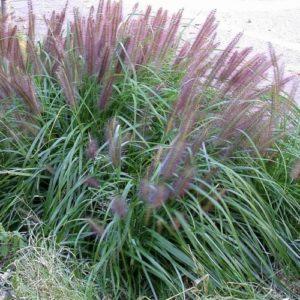 Vrtnarstvo Breskvar - Pennisetum alopecuroides Moudry