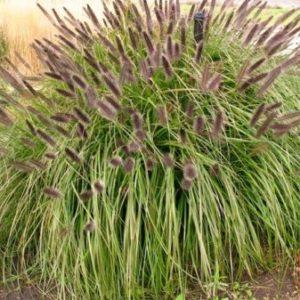 Vrtnarstvo Breskvar - Pennisetum alopecuroides viridescens