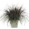 Vrtnarstvo Breskvar - Pennisetum purpureum Vertigo