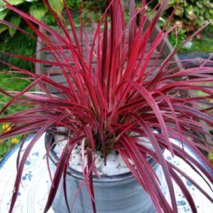 Vrtnarstvo Breskvar - Pennisetum setaceum Fireworks
