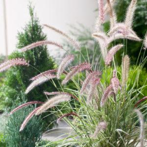 Vrtnarstvo Breskvar - Pennisetum setaceum Sky Rocket