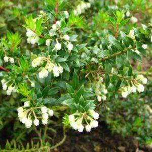 Vrtnarstvo Breskvar - Pernettya Mucronata Alba