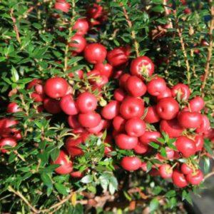 Vrtnarstvo Breskvar - Pernettya mucronata Purpurea