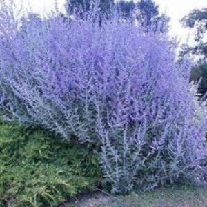 Vrtnarstvo Breskvar - Perovskia atriplicifolia Blue Spire