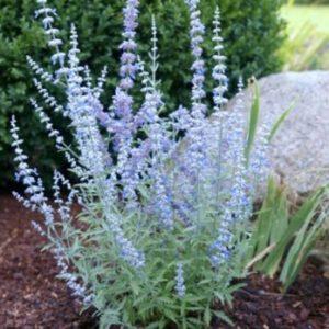 Vrtnarstvo Breskvar - Perovskia atriplicifolia Lacey Blue