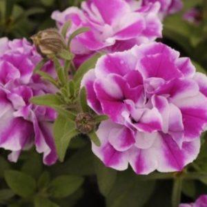 Vrtnarstvo Breskvar - Petunia Amarena Twist