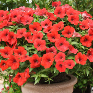 Vrtnarstvo Breskvar - Petunia Deep Red