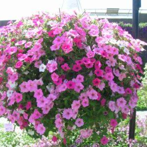 Vrtnarstvo Breskvar - Petunia