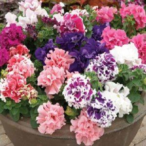Vrtnarstvo Breskvar - Petunia grandiflora