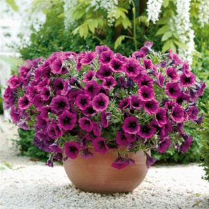 Vrtnarstvo Breskvar - Petunia Merlot