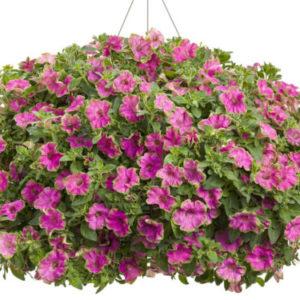 Vrtnarstvo Breskvar - Petunia Picasso Pink
