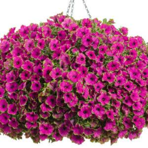 Vrtnarstvo Breskvar - Petunia Picasso Purple