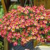 Vrtnarstvo Breskvar - Petunia Queen Of Hearts