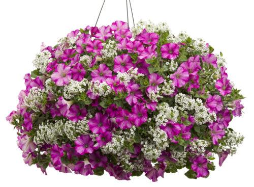 Vrtnarstvo Breskvar - Petunia Raspberry Blast